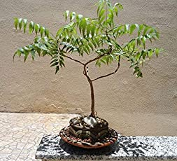 Plant House Live Neem Pre Bonsai Plant with Pot (more than 1 year old)
