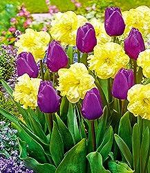 """Baldur-garten Tulpe & Narzisse Perfekte Partner""""opposite Attraction"""", 12 Zwiebeln Tulipa Und Narcissus Winterhart Blumenzwiebeln"""