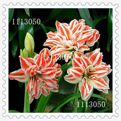 graines Amaryllis, graines de Amaryllis bon marché, la Barbade graines de lys en pot, Bonsai balcon fleur - 100 pcs / sac