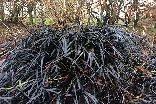 ophiopogon-planiscapus-nigrescens-aka-black-mondo-grass-a-garden-tested-hardy-perennial-plant