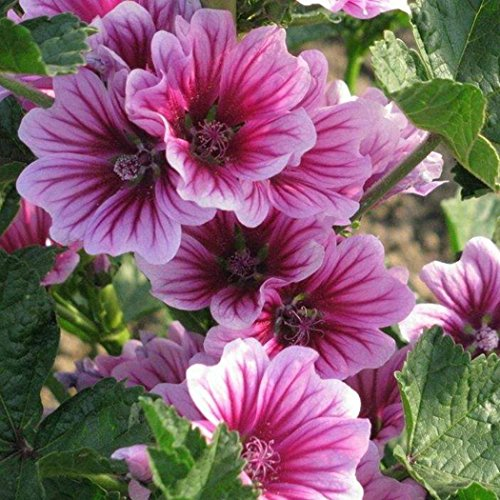 ADOLENB Garten Samen - Mauretanische Malve Samen Kraut Malve Pflanze Garten lila Blumensamen
