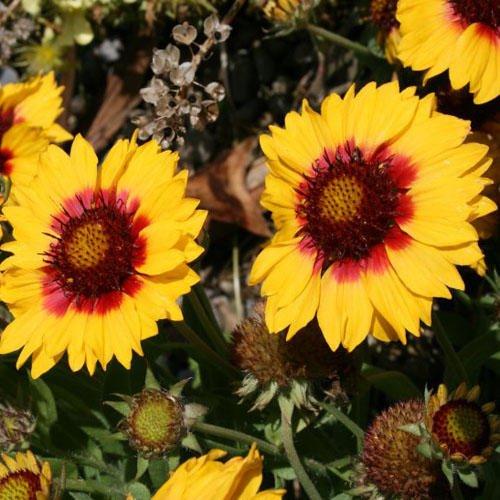 gaillardia-aristata-seeds