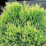 Hatiora salicornioides - Steckling - 6-10 cm - (unbewurzelt)