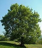 Baum des Jahres 2015 - Feldahorn im Container Größe 125 bis 150 cm