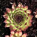 Hauswurz, Sempervivum x cultorum, rot-grüner Typ von VDG-Stauden auf Du und dein Garten