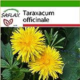 SAFLAX - Diente de león - 200 semillas - Con sustrato - Taraxacum officinale