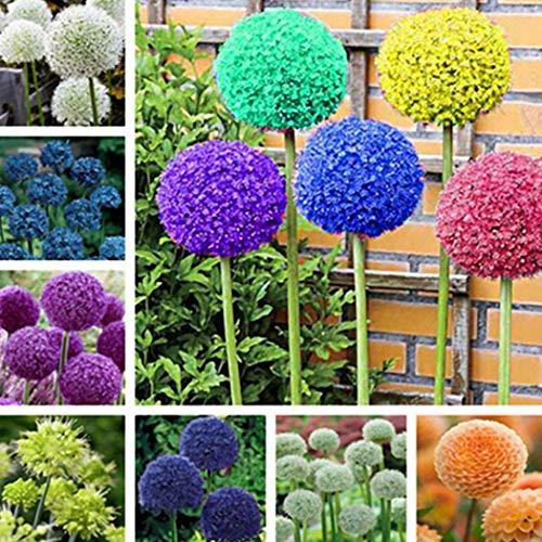 Cioler Seme di Fiore-Semi di scalogno, 30 pezzi Flower Fragrant Blooms Grandi semi di scalogno fiorito Vasi da fiori di piante di cipolla per il giardino di casa