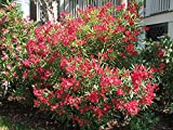 Semillas de flores tropicales BloomGreen Co. Kaner/Adelfa - Grandes glabro, de hoja perenne, Semillas Woody arbusto de flores para el pote 20 Semillas Semillas Paquete Cocina Jardín