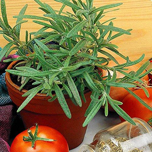 Romarin officinalis - 4 sacs de graines