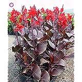 10 piezas Dwarf Semillas Bonsai Canna Lily hermosas semillas de flores maravilloso follaje perenne planta en maceta para jardín 4