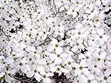 Seedeo Asiatischer Blütenhartriegel Cornus kousa var. chinensis 30 Samen