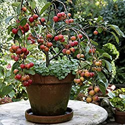 """Pflanzenservice Zierapfelbaum, Zierapfel """"Ola"""" , 1 Pflanze, 30 - 60 Cm Hoch, 2 Liter Container"""