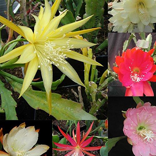 Epiphyllum Kollektion, 10 stecklingen