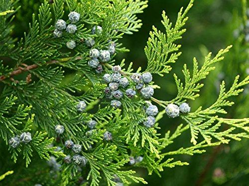 Lebensbaum Thuja occidentalis 300 Samen