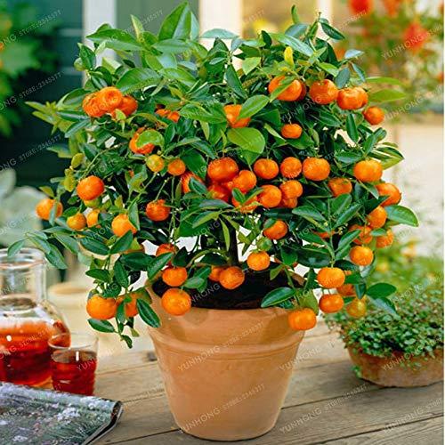 Bloom Green Co. Zitruspflanze Bonsai Mandarine Bonsai Eßbares Obst Bonsai-Baum Pflanze Gesunde Nahrung Hausgarten-Leicht 30 PC wachsen