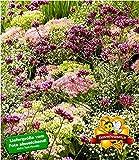 BALDUR-Garten Stauden-Mix'Fantasy Garden', 3 Pflanzen fliederfarbene Verbene, rosa Sedum und weißes Schleierkraut Gypsophylla