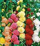BALDUR-Garten Stockrosen-Malven-Mischung, 3 Pflanzen Alcea rosea