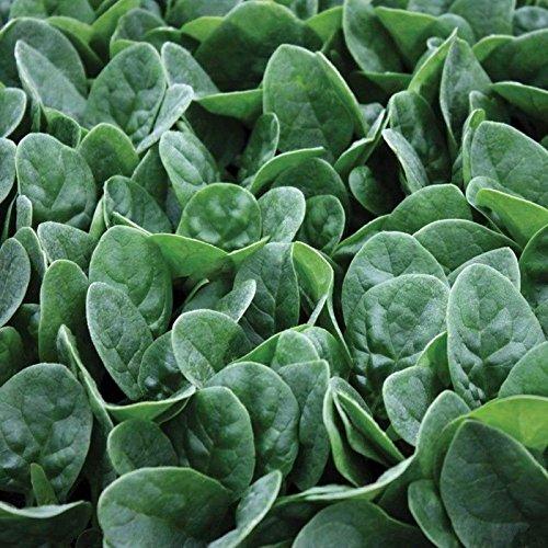 Portal Cool Samen Paket: 10 - Samen: Seaside F1 Spinat Seeds - Eine ausgezeichnete Wahl für y Leaf !!!!!