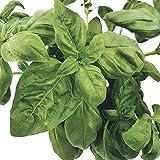 3 Pflanzen Basilikum mit großen Blättern: handelsübliche Basilikumsorte in Qualität vom Gärtner - Basilikum-Sparpaket - wundervolle Pflanze!