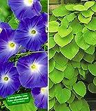 BALDUR-Garten Winterharte Kletterpflanzen-Kollektion 2 Pflanzen Trichterwinde und Pfeifenwinde