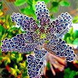 Portal Cool Semillas Semillas del paquete: 100 piezas/paquete Japón Junquillo Blooming Seedss Bonsai jardín de flores de C1My