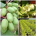 Issai, Kiwi Pflanze, teils selbstfruchtend, glattschalig im 3 Liter Topf ca. 60-100 cm hoch, gestäbt von Grüner Garten Shop auf Du und dein Garten