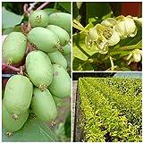 Issai Kiwi Pflanze teils selbstfruchtend glattschalig im 3 Liter Topf ca. 60-100 cm hoch gestäbt