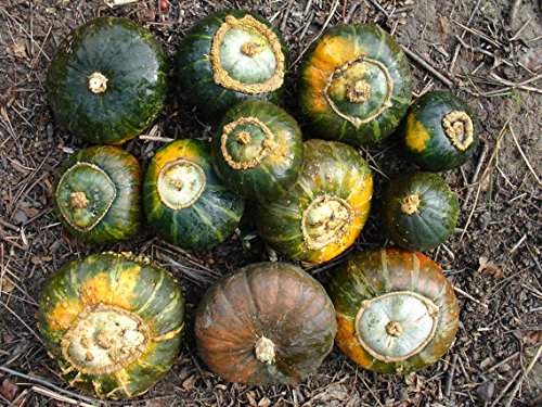 Hungarian Diskus Squash, ideal for barbecue, 10 graines