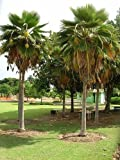 Fiji Fan Palm -Fiji-Palme- 10 Samen (Art Fächerpalme) Rar -Pritchardia thurstonii-