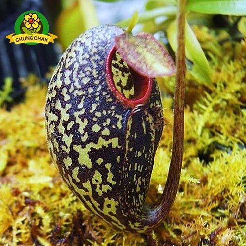 Manger moustiques Plantes carnivores Graines Nepenthes 200pcs / sac Pitcher Tropical Plante Catch Jardin des insectes Bonsai 12 Easy Grow Potted