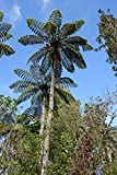 Winterharter-Baumfarn -Cyathea medullaris- 25 Samen/Sporen (Bis - 9 Grad)