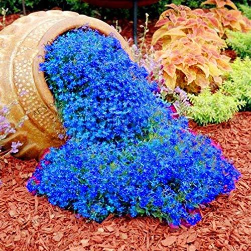 Cioler Seed House - Fragrance Graines de thym de montagne à poils longs Tapis rampants au thym de sable Plantes au sol vivaces Plantes vivaces Stonecrop