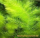 10 Bund/Portionen Hornkraut, Ceratophyllum demersum, für Teich und Aquarium