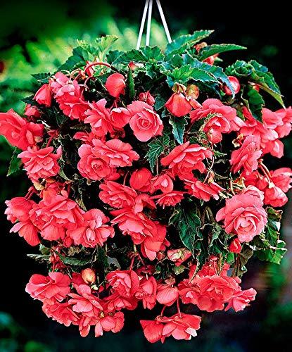 AIMADO sementi giardino - 100pcs Raro profumate Begonia Pendula ricadente Grossi fiori doppi Begonia pendente Semi sementi da fiore giardino resistenza al freddo Pianta perenne