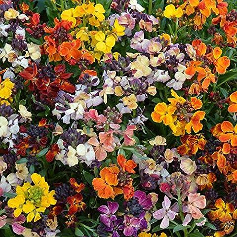 Kings Seeds - Wallflower, Persian Carpet Mixed - 500 Seeds