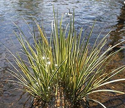 Wasserpflanzen Wolff - Acorus gramineus - Zwergkalmus - Graskalmus von Wasserpflanzen Wolff bei Du und dein Garten