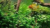 Wirbellosenzucht-Foltis 5 Verschiedene Aquarium Pflanzen für den Aquaristik einstieg, schnellwachsende Pflanzen Daher gegen Algen im Aquarium, Aquarium Pflanzen Set