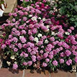 2000 FAIRY DWARF MIX CANDYTUFT Iberis Umbellata Flower Seeds by Seedville