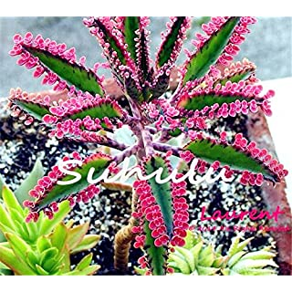 Hot Sale 100 Pcs Bonsai Red Longevity Flower Seeds Kalanchoe Novel Plants For Diy Home Garden Mini Succulent Pots Plantas Raras 1