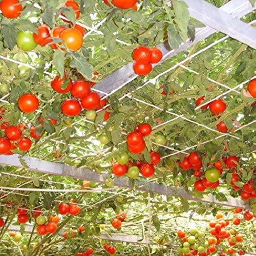Qulista Samenhaus - 100pcs Selten Bio Snack-Tomate 'Romello' Samen Kletterpflanzen Gemüse Samen ertragreich mehrjährig winterhart, geeignet für Balkon/Terrasse & Garten