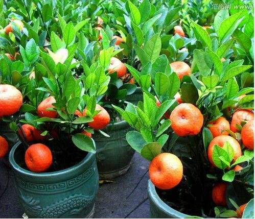 10pcs / lot Balcon Patio pot arbres fruitiers plantés Graines Kumquat Mandarine orange Citrus 3