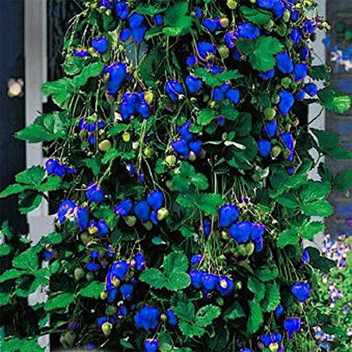 bazaar-500pcs-blaue-erdbeere-seltene-frucht-gemusesamen-bonsais-essbare-garten-kletterpflanze
