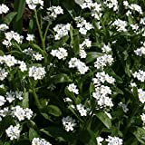 Premier Seeds Direct MYS03F 0.7 g Forget Me Not Myosotis Sylvatica Seeds - White (Pack of 1050)