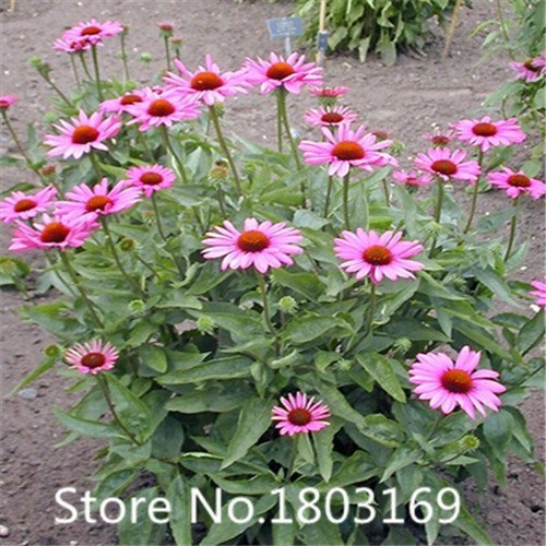 SwansGreen 100% True Rare Purple 'Hot Wheel' Chrysanthemum Flower Seeds, Professional Pack, 50 Seeds/Pack, the Rarest Garden Flower NF572