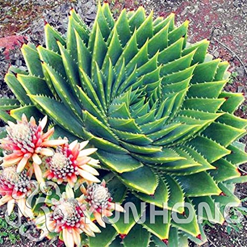 Semi Pacchetto: Rare spirale Bonsai Piante grasse Bonsai MESA Aloe rotazione polyphylla aloe vera regina Bonsai, 100pcs / bag By Farmerly