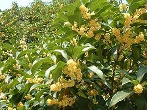 Osmanthus fragans, Duftolive, 5 vorstratifizierte Samen,winterharte Duftblüte