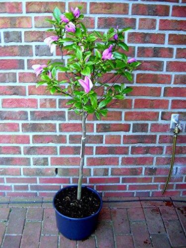 Magnolia Susan Höhe: 180-190 cm Rote Tulpen-Magnolie Dünger