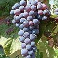 Venus, dunkelblau, kernlos, süß, pilzfeste Weinrebe im 9 cm Rechteck-Topf von Grüner Garten Shop bei Du und dein Garten