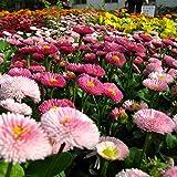 KAYI Startseite Garden Daisy SEEDS Vivace Sun Daisy mit doppeltem Flap Schöne Blume Einfach anzubauen, Multi-colorful, 200 pcs
