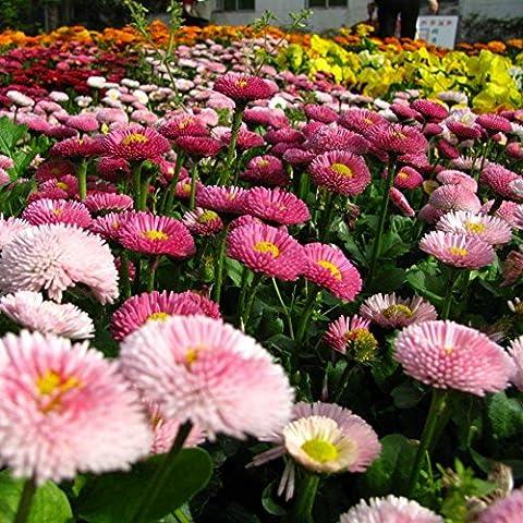 ESHOO 200 Stück Mix Shasta Daisy Samen Open Pollinated Samen für Hausgarten